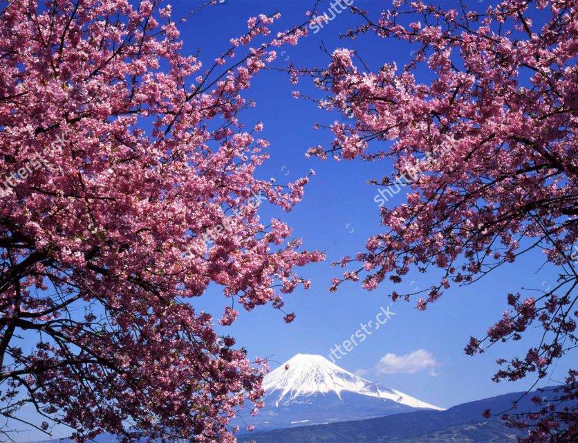 Фото сакуры в цвету рисунок